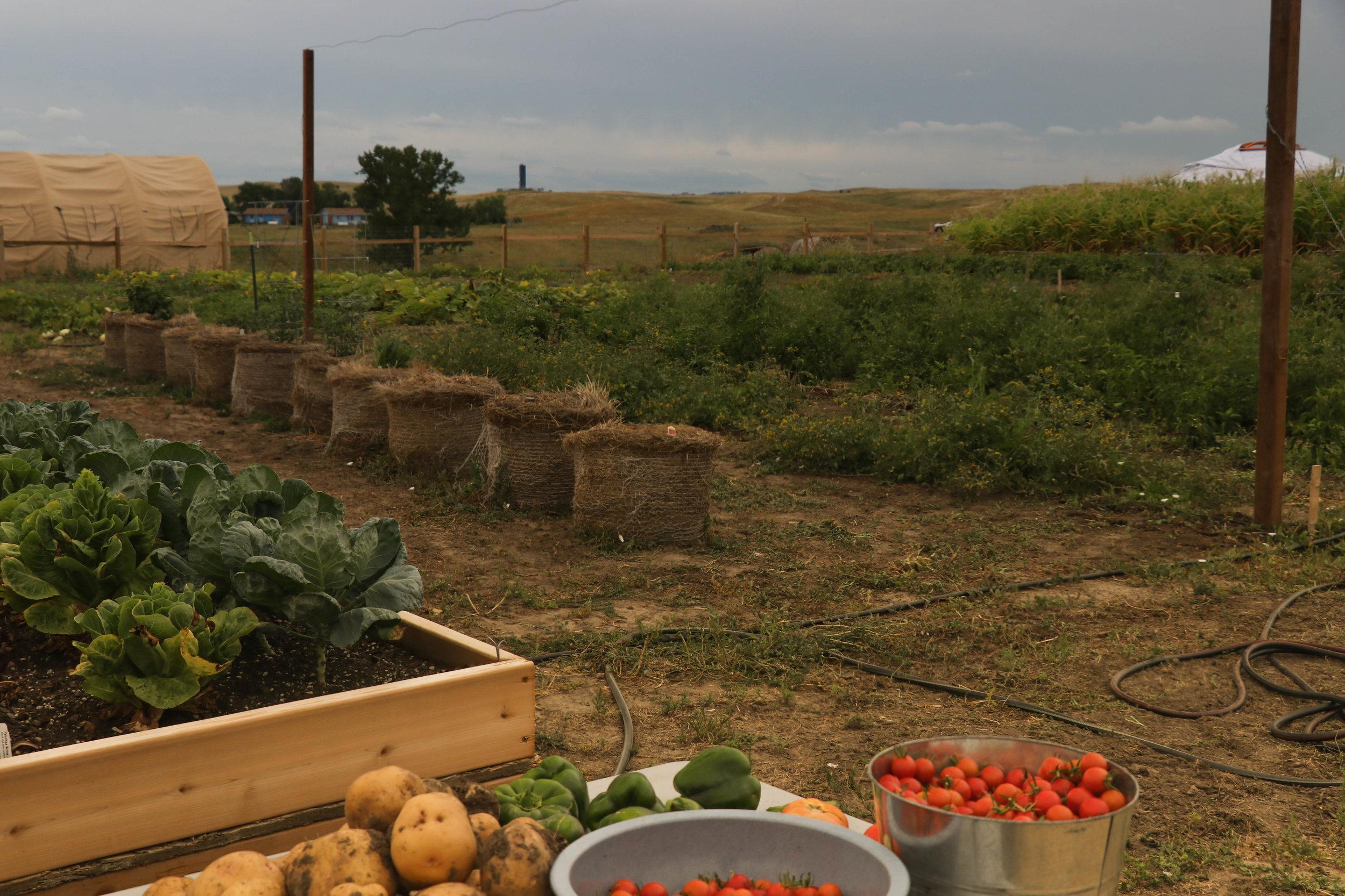 Kale, cabbage, potatoes, tomatoes. - MK