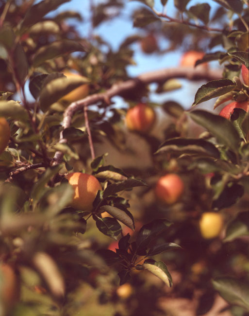 01.Apples-Oregon.jpg