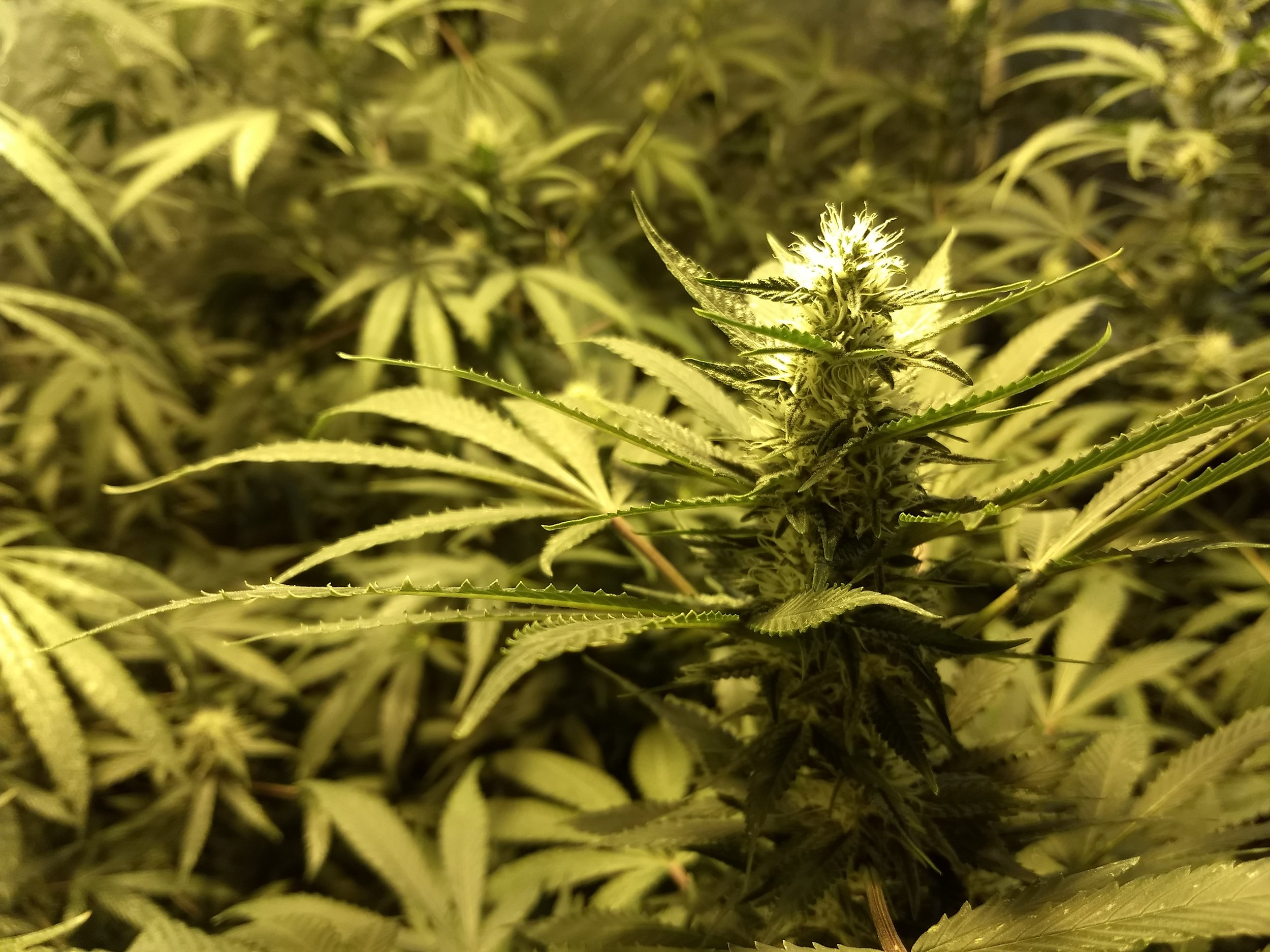 Indoor Grow - Our indoor grows are almost complete. We use these mostly for testing purposes.