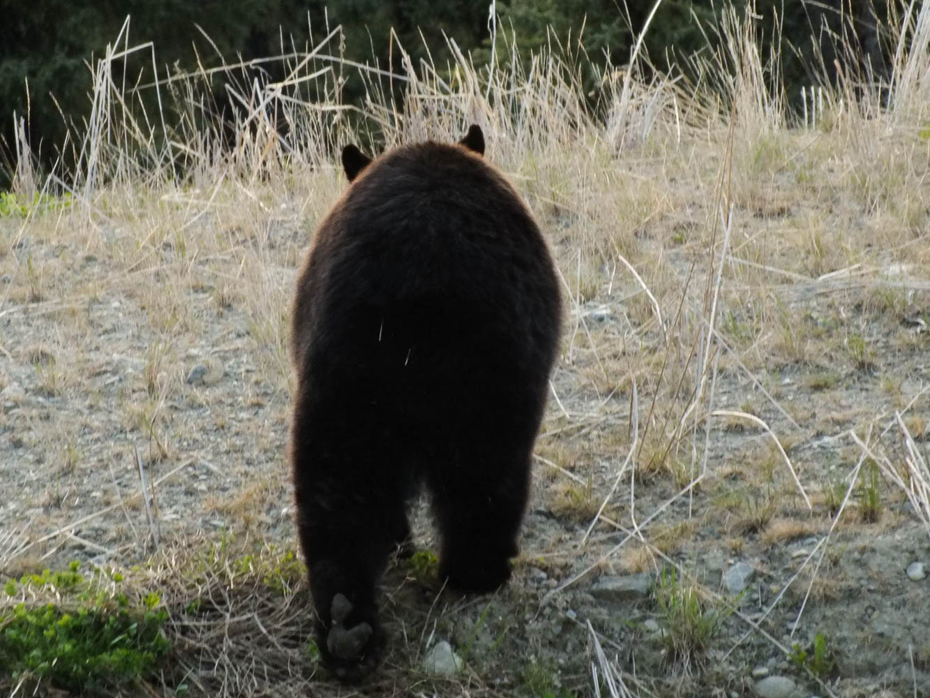 This bear had a recent encounter with a porcupine and walked away with quills in its behind (Ronnie Young, 2016).
