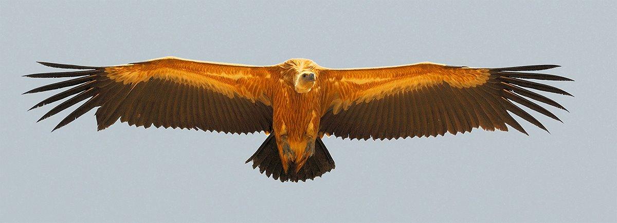 vulture-flying.jpg