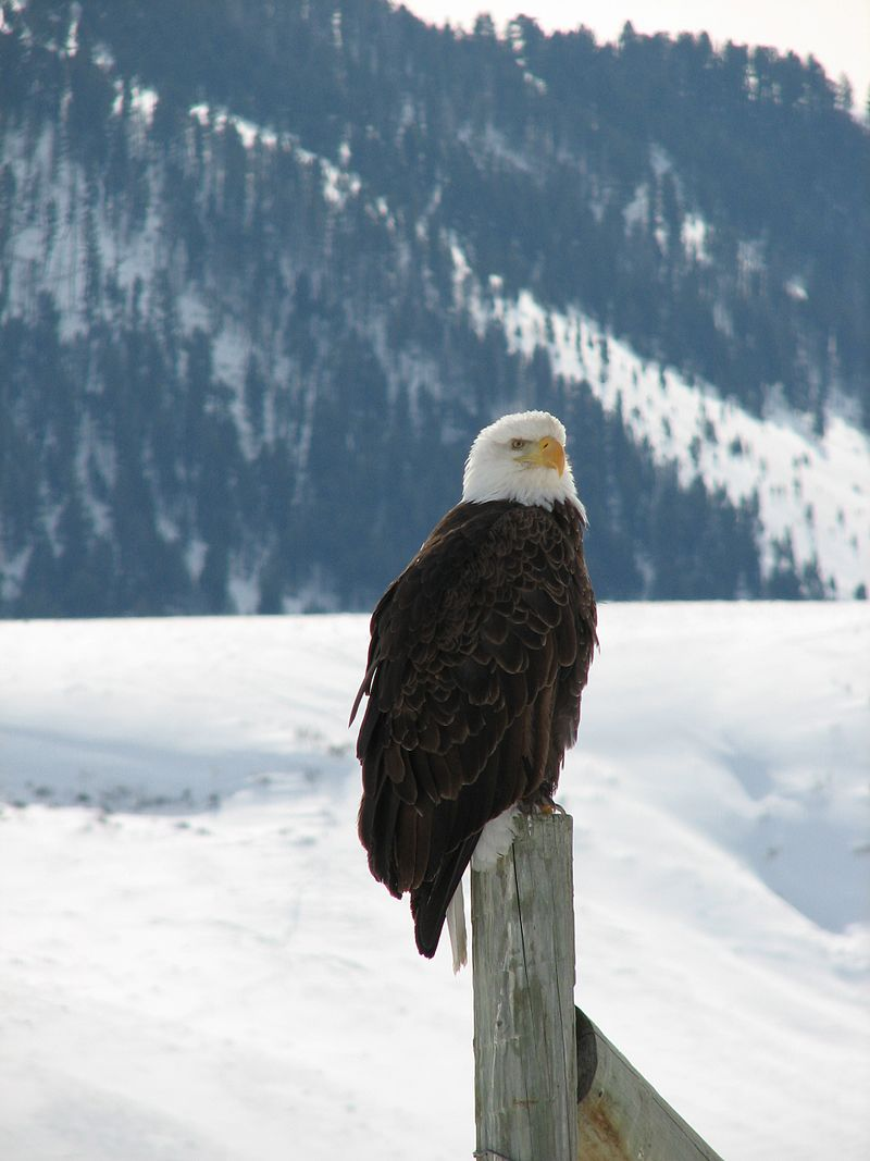 By USFWS Mountain-Prairie - A Watchful Eagle Keeps Post on a Winter Day, CC BY 2.0, https://commons.wikimedia.org/w/index.php?curid=48190837