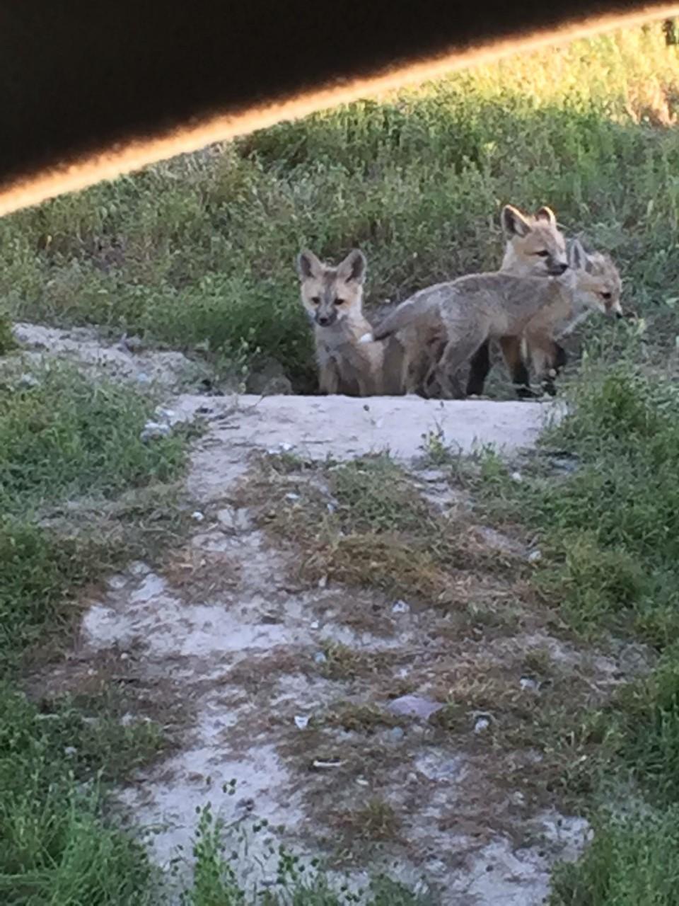 fox-kits
