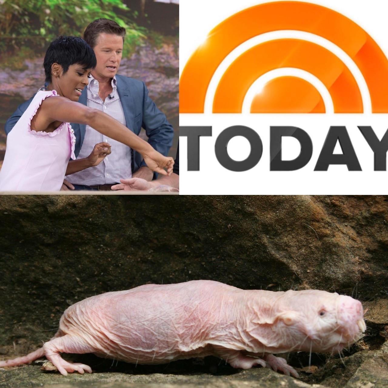 naked-mole-rats