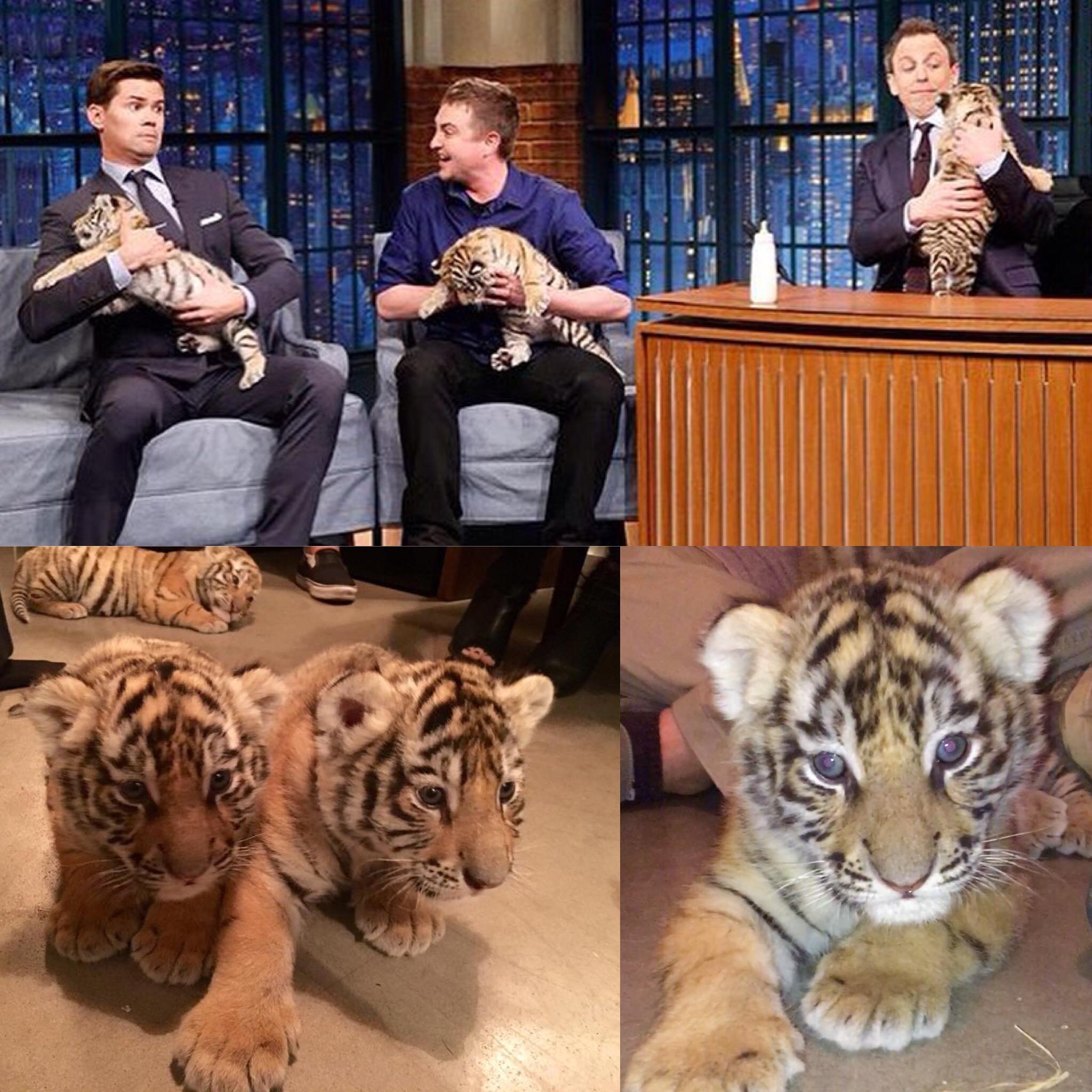 tiger-cubs-seth-meyers