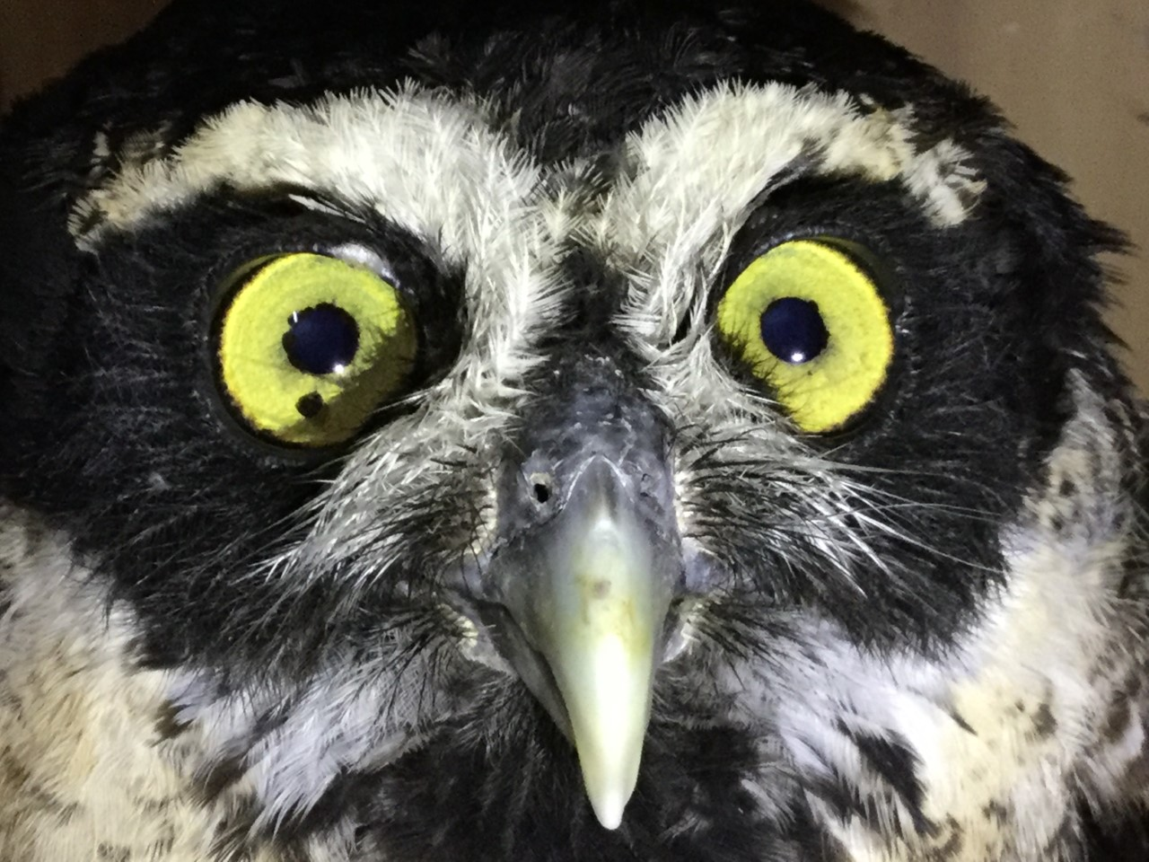 Adult Spectacled Owl.