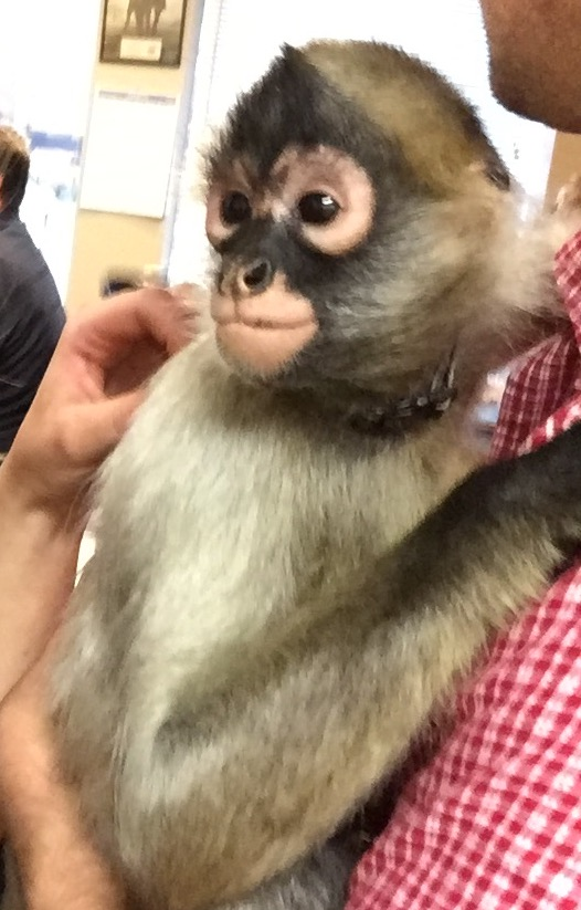 Mogli the Black-handed Spider Monkey from Babby Farms.