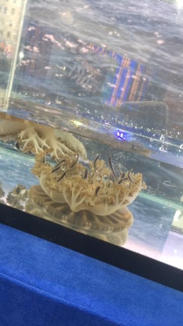 Upside-down Jellyfish from The Adventure Aquarium.