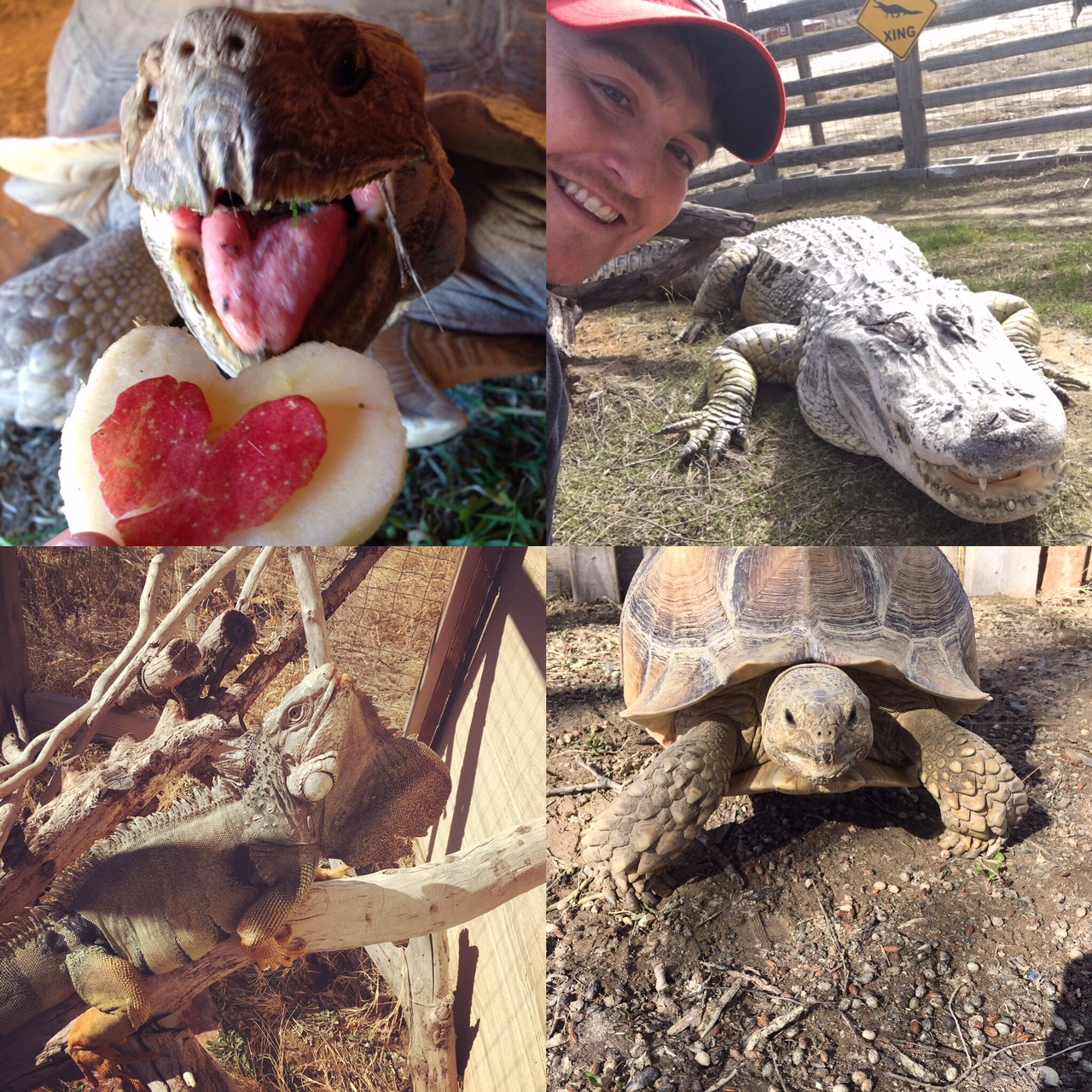 Top Left: Tank the Sulcata Tortoise on Valentine's Day. Top Right: Soni the alligator basking. Bottom Left: Godzilla the Green Iguana. Bottom Right: Hank the Sulcata Tortoise.