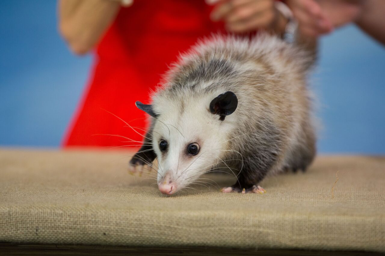 Opossums have an excellent sense of smell but poor eyesight.Photo Courtesy Nathan Congleton, Today Show Photographer.