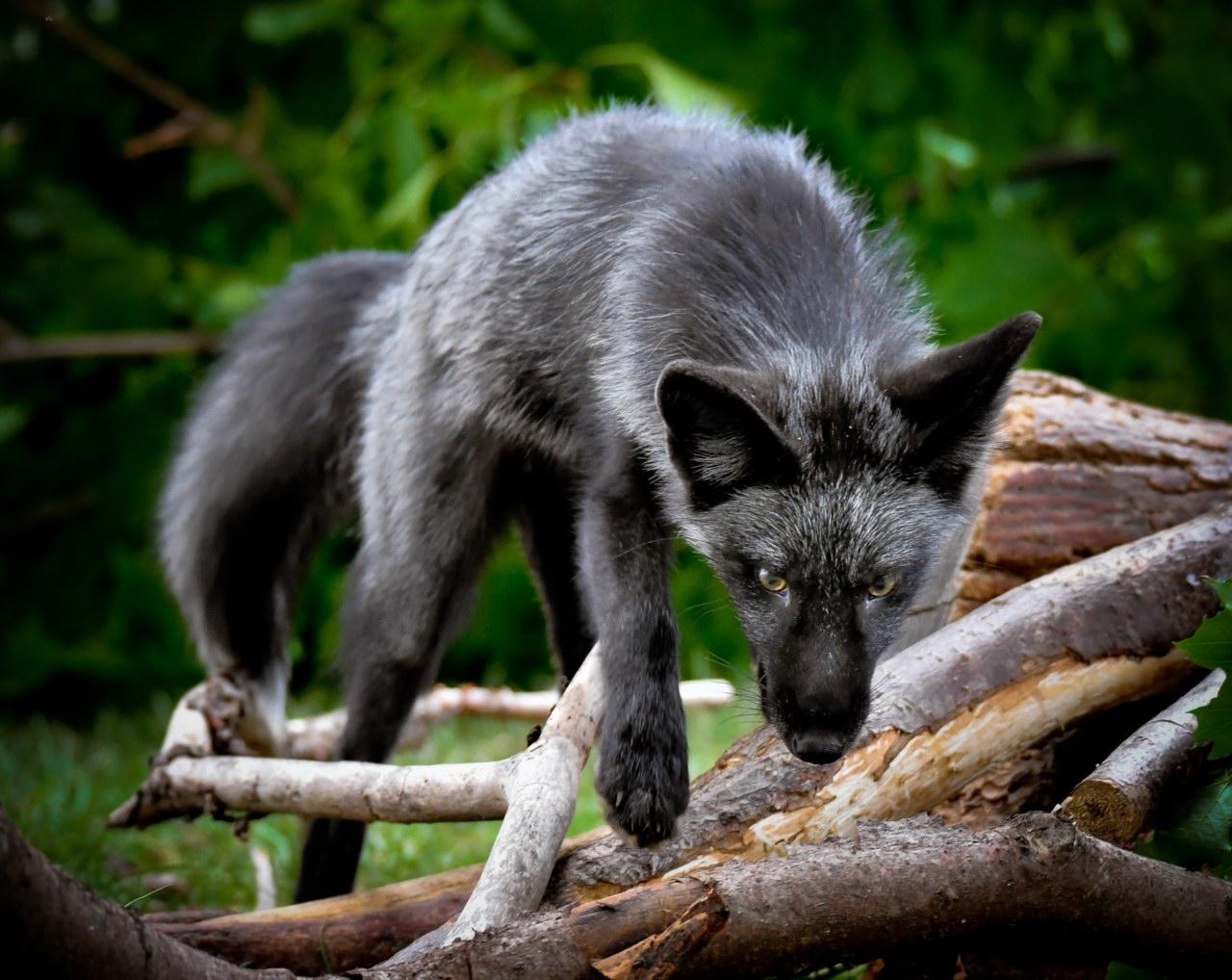 Luna, a 3-year-old Silver Fox from Wildlife Rockstars.