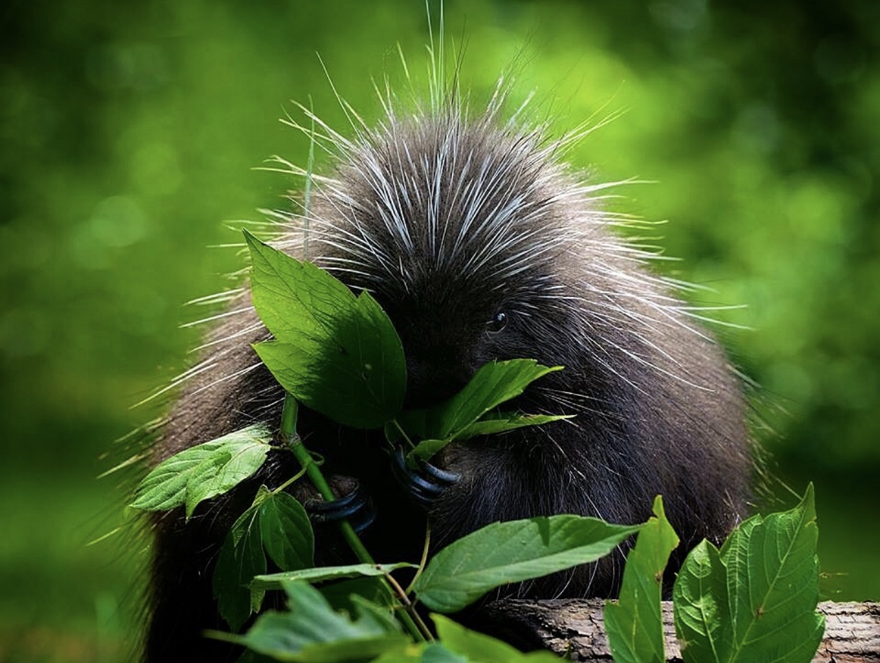 Phyllis Quiller, a North American Porcupine.