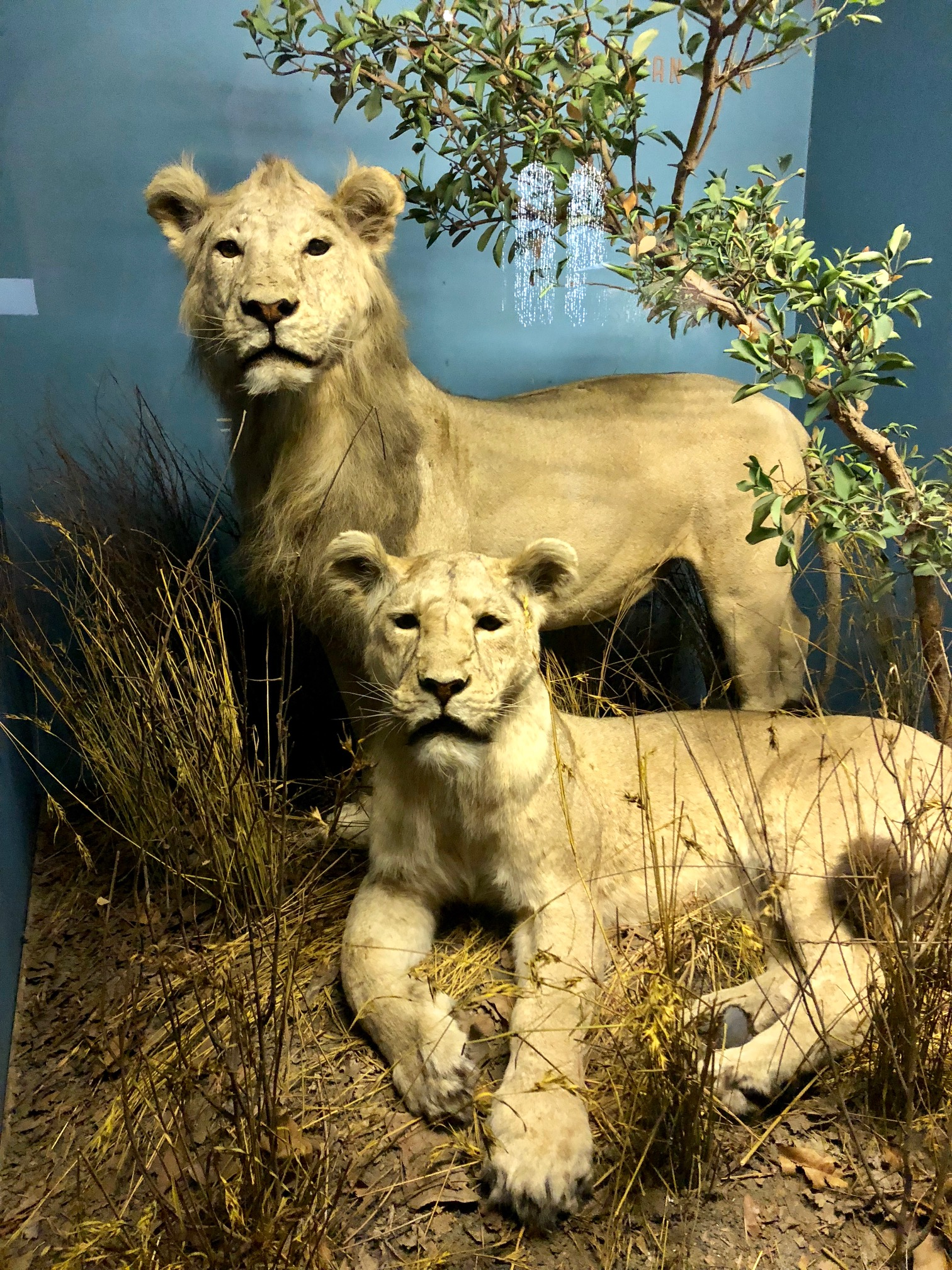 Asiatic Lions differ from African Lions by being slightly smaller and having shorter manes. They also have a longitudinal fold of skin that run along its belly, absent in African Lions.