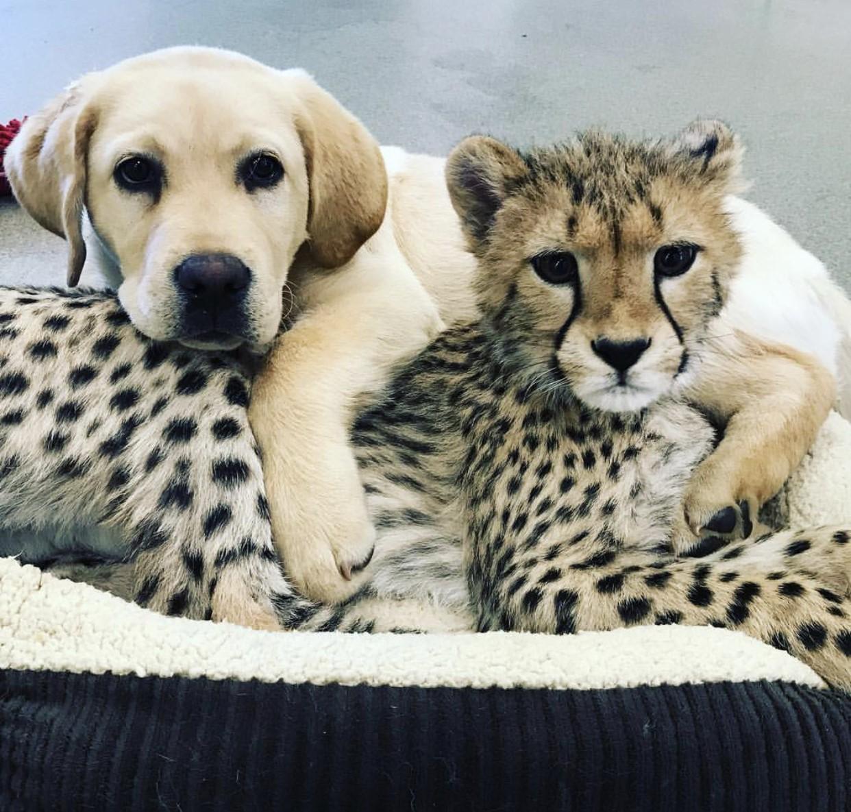 Cheetah cub pic.jpg