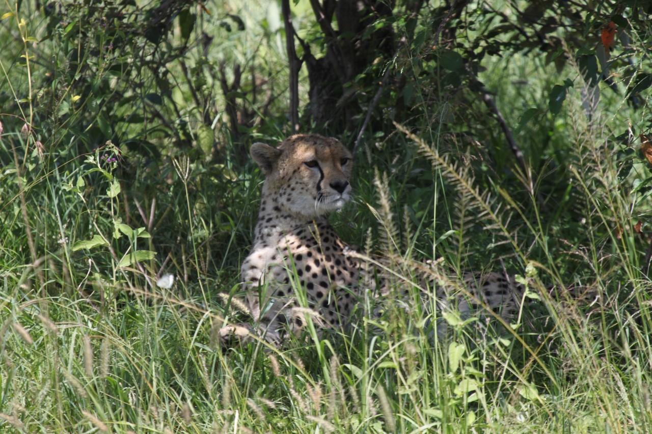 My first wild cheetah sighting in Kenya's Masai Mara.