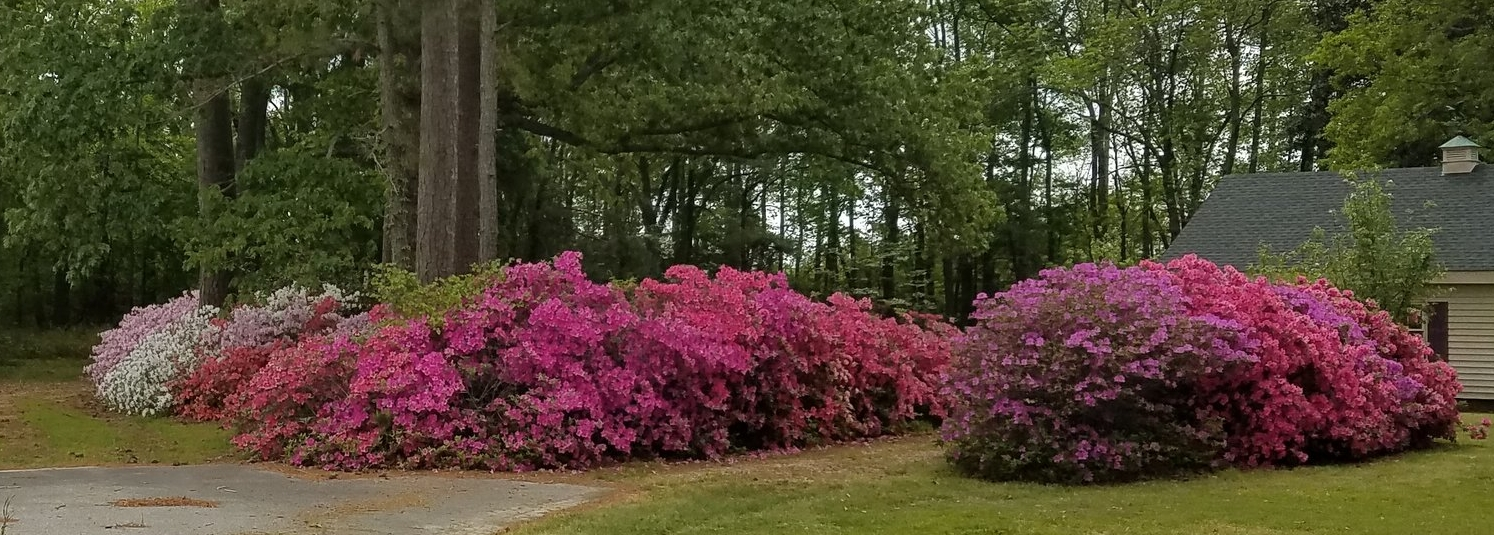 How gorgeous are these azaleas? I wish they were mine, but they aren't. I was lucky I didn't get arrested for trespassing so I could take the picture. But, hey, if you're gonna have bushes this beautiful, don't you expect crazy people like me to take pictures? (Okay, I didn't really trespass. I stayed in the street like a good, law-abiding citizen.)