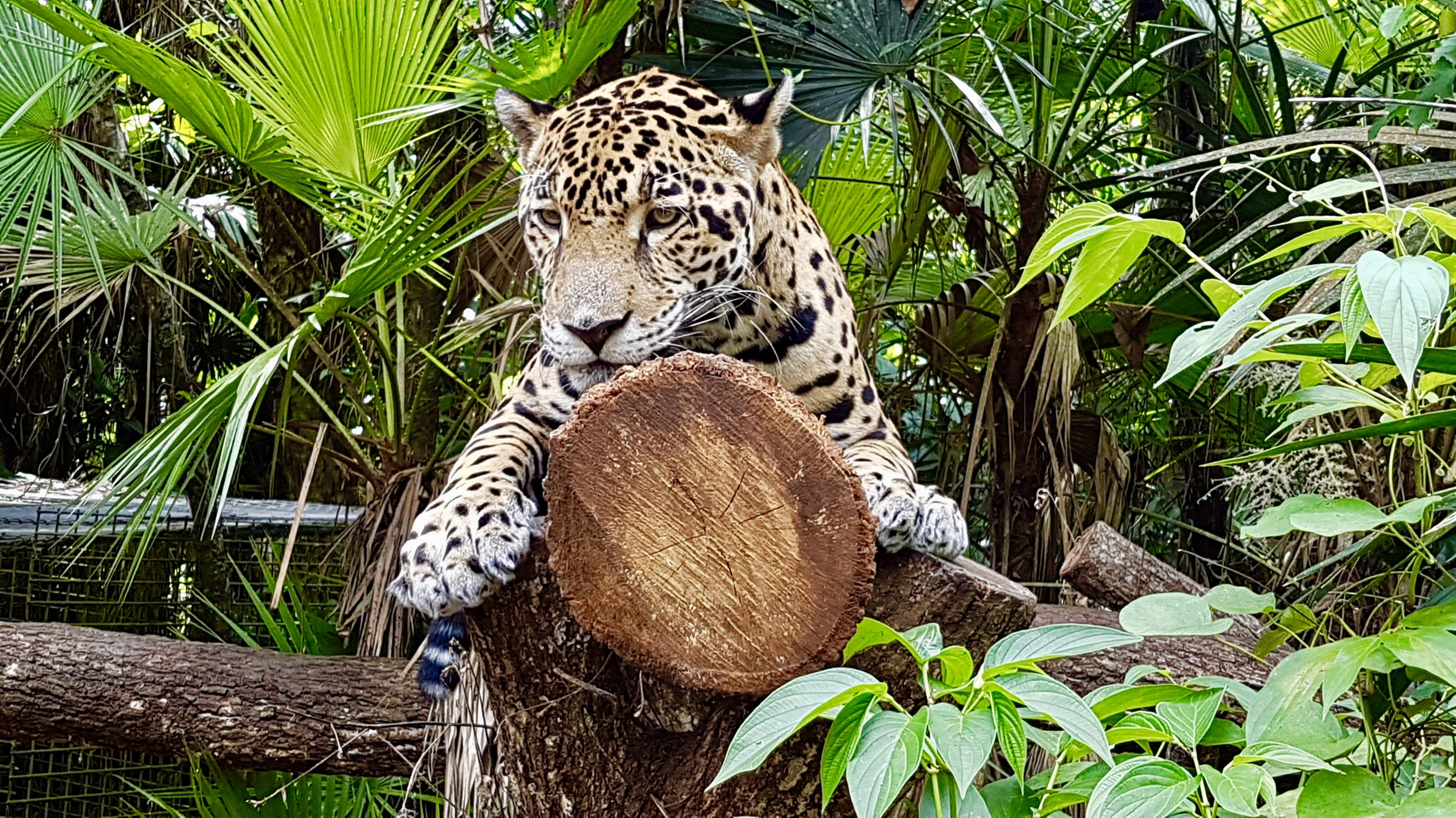 Junior Buddy: Star of the Belize Zoo. All photos in this post by  Cristal Dyer .