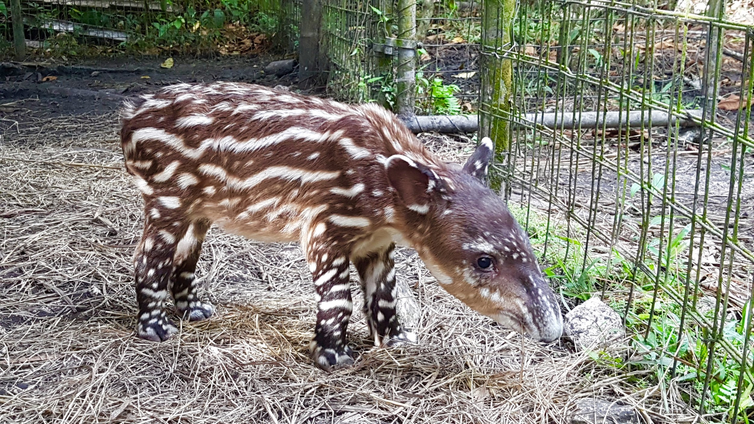 """Cuteness overload: Two of the zoo's tapirs, Navidad and Fuego, had a baby while Cristal was there. """"They still had a really good relationship. They still spend a lot of time together, which was really sweet."""" Also, they are vegetarian and banana is their favorite snack."""