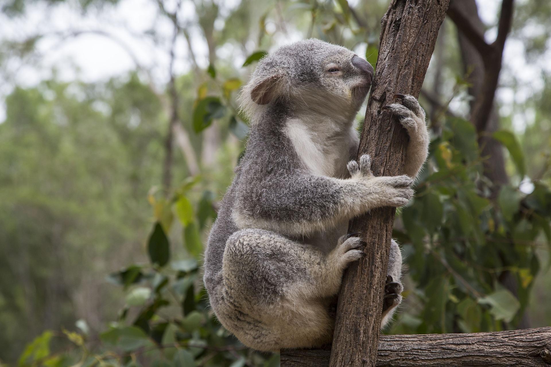 Lone Pine Koala Sanctuary  in Brisbane Australia.