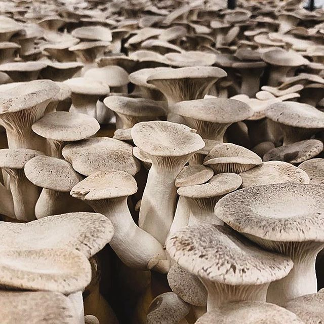 Tried and true, but far from tame. The versatile Trumpet Royale is always a go-to. What's your favorite way to serve them? 📸: @oysterandking 🍄 #trumpetroyale #kingtrumpet #mushroom #farmlife #verticalfarming #organic #superfood #instafood