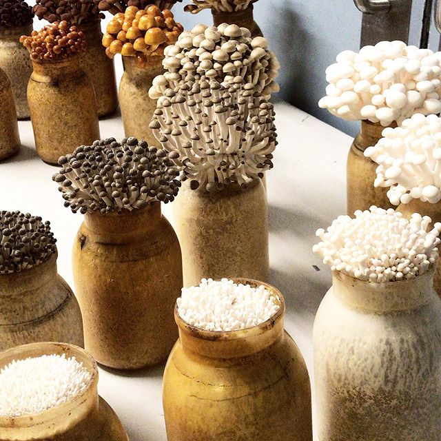 How does your garden grow? With spawn in a hole and humidity control And pretty shrooms all in a row 🍄 Check out the process of growing mushrooms in our Instagram story highlight! 📸: @courtneymarkgraf 🍄 #mushrooms #mycopia #mycopiamushrooms #mushroomfarm #farmlife #fungi #beechmushrooms #albaclamshell #brownclamshell #organic #farming #indoorfarming #urbanagriculture