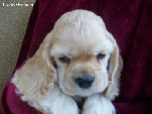 This is a puppy from one of Gianni's previous litters. - This is a puppy from one of Gianni's previous litters. (This pup is an AKC Cocker Spaniel, not a Mini Golden Retriever.)