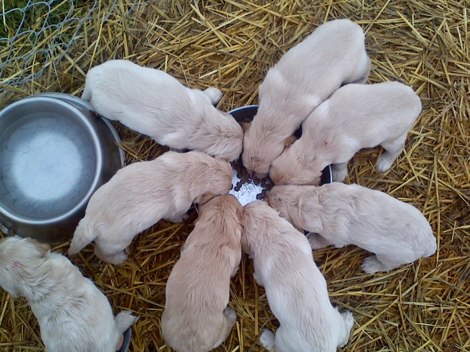 Here they are outside for the first time trying out some puppy food: -