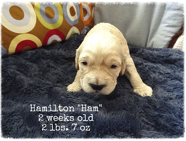 This is Ham, he is a buff male, with a wavy to straight coat.