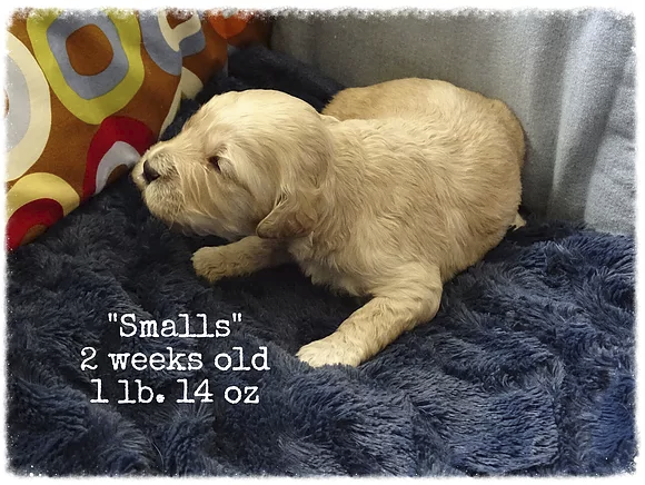 Smalls is a little guy, he is buff colored with a straight coat.