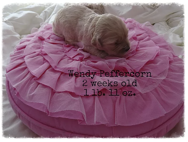 This is our female puppy, Wendy, she is cream with a wavy coat.