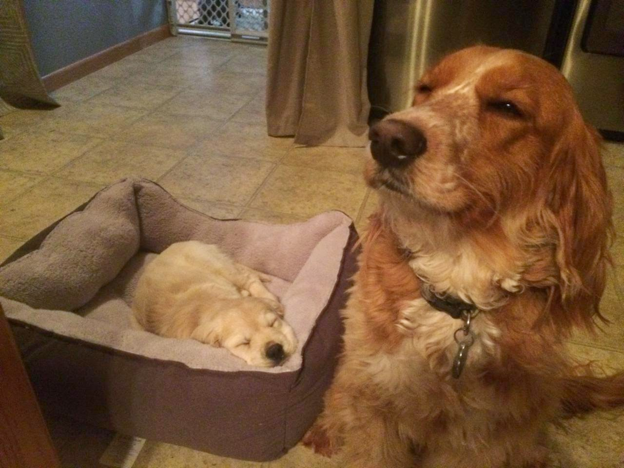 Olaf with his new friend who is a Golden/Cocker, Piper.