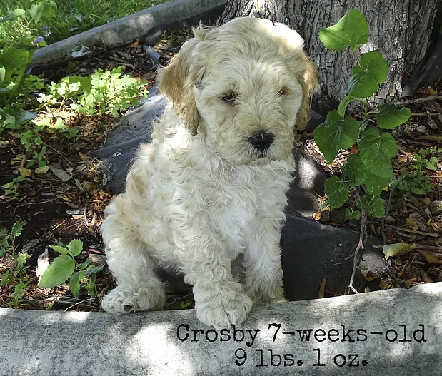 Crosby_ 7 weeks old_1.png