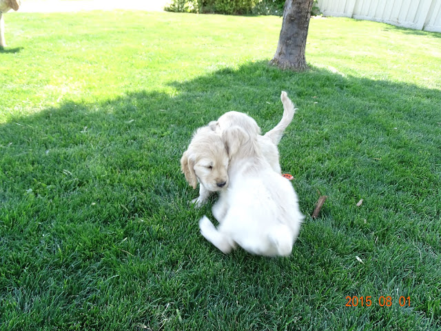 Spike (right) and Logan(left) playing at 7-weeks-old!
