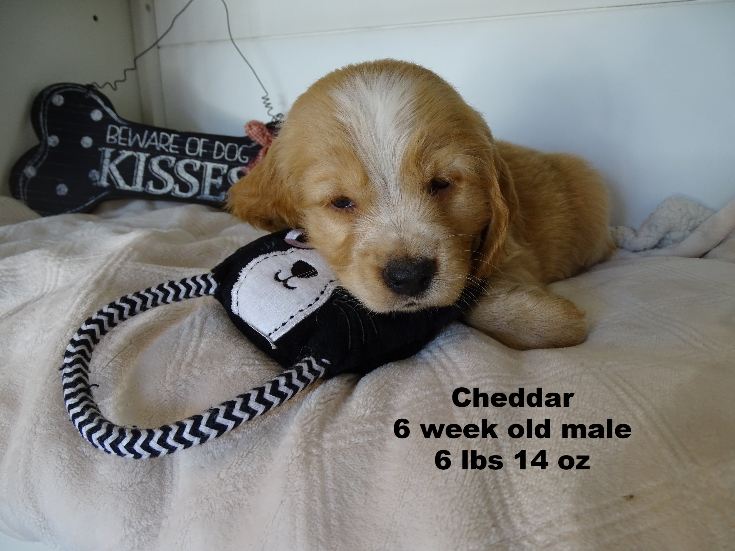 Cheddar and Cora are our last available puppies! They are so sweet and have a wonderful temperament. -
