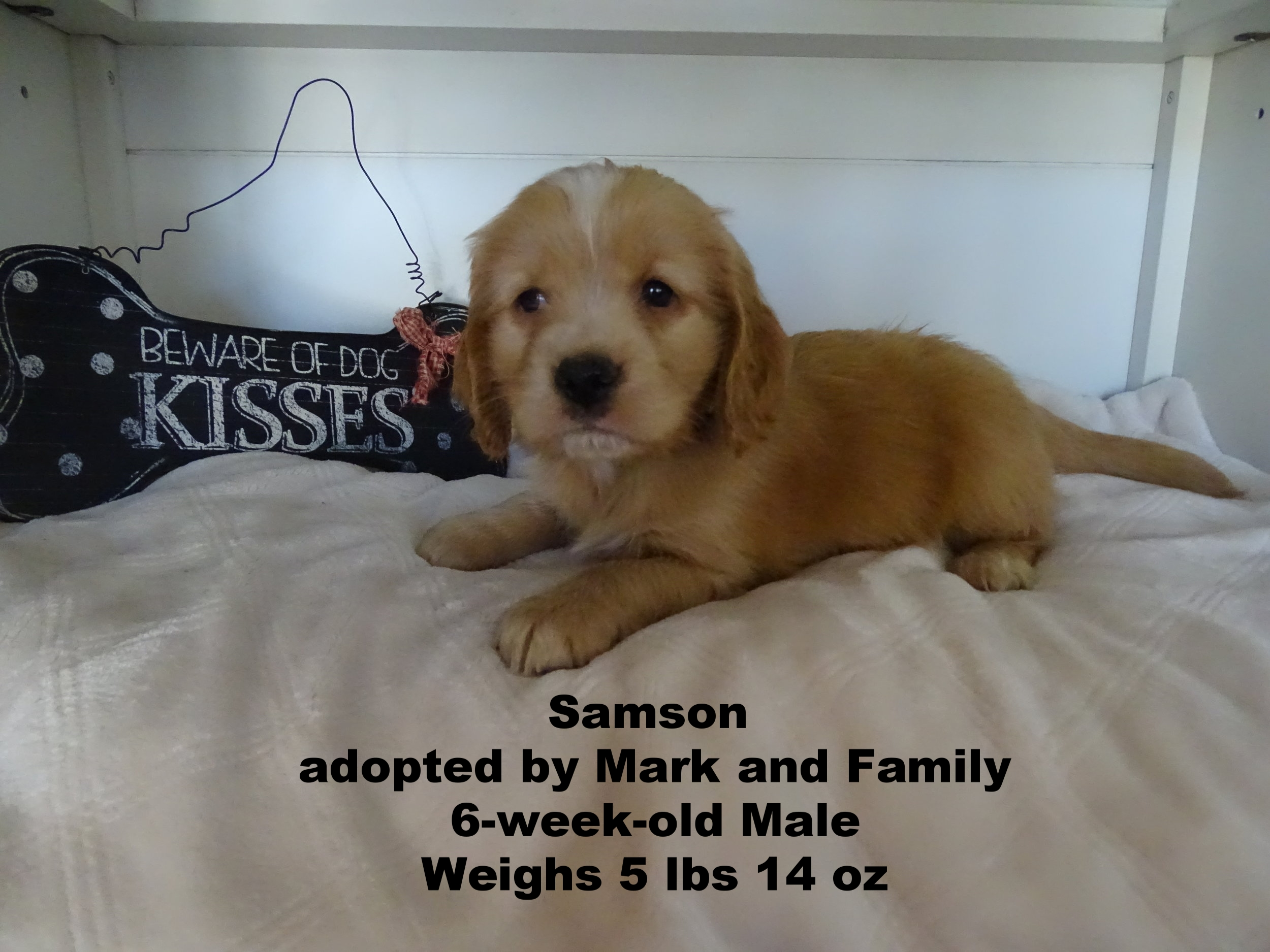 Samson is a sweet fuzzy little guy he is our cuddle big and we know his family is going to love him!