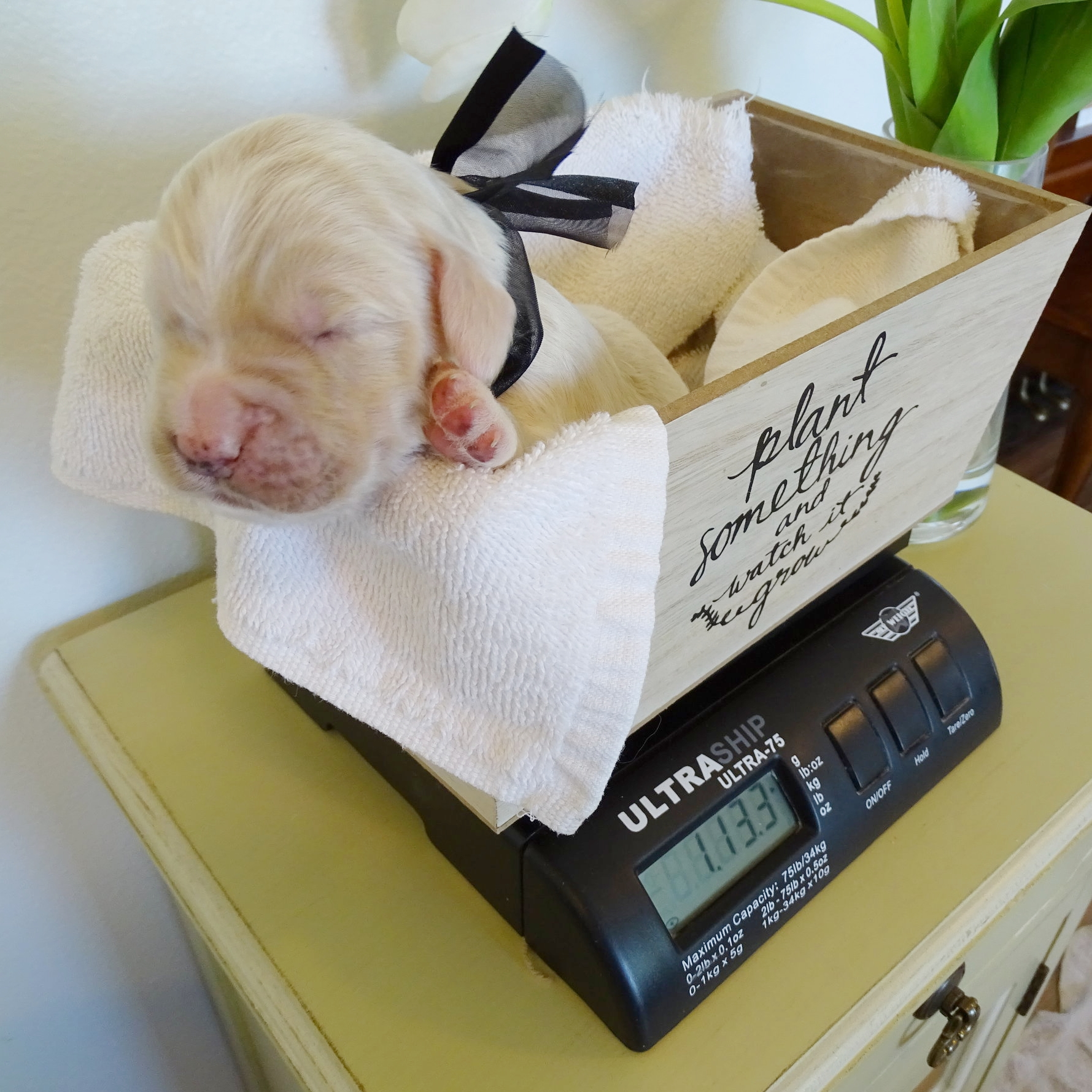 Willoughby is a cream colored male born at 12:56 pm on 10/3/17 weighing 14.8 oz. He currently weighs 1 lb 13 oz.