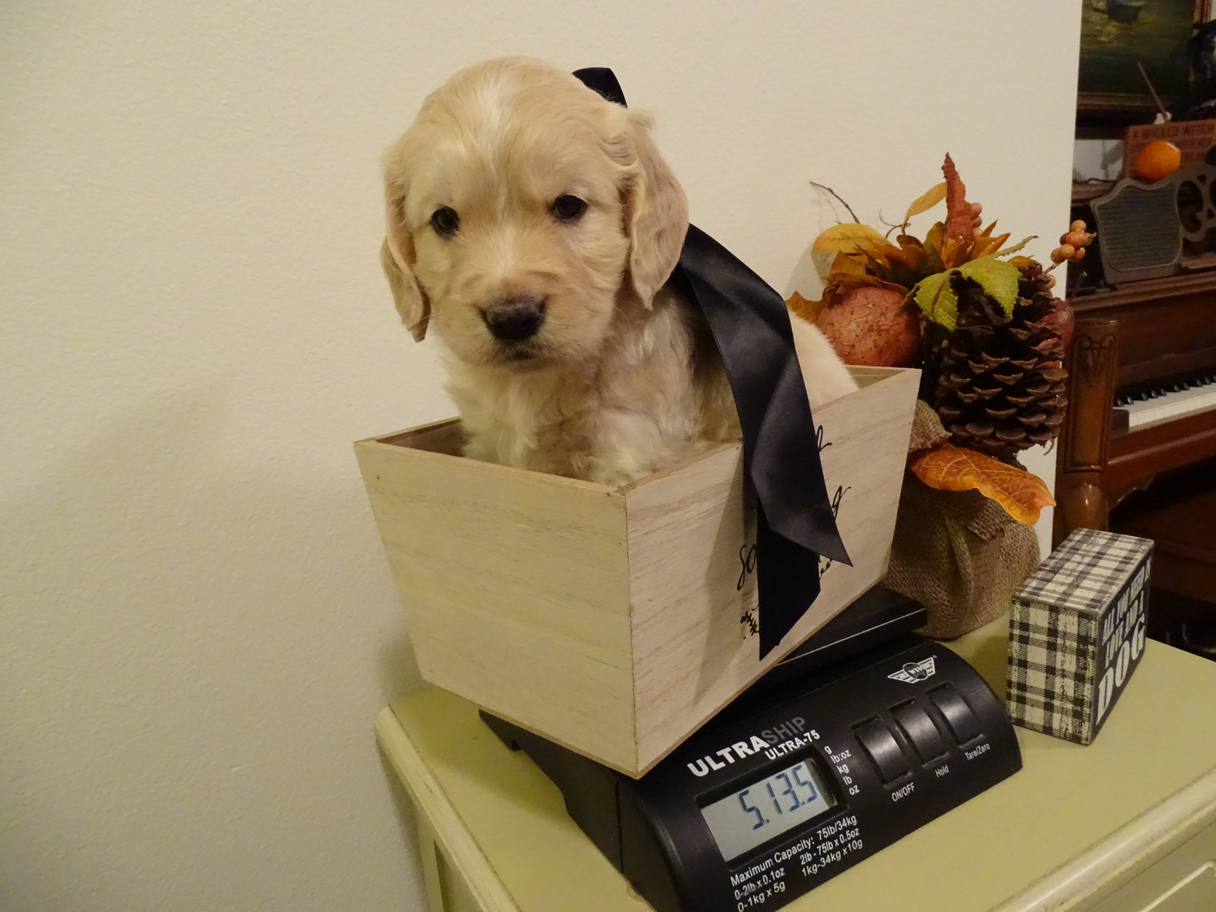 Boomer (Willoughby) 5-weeks-old