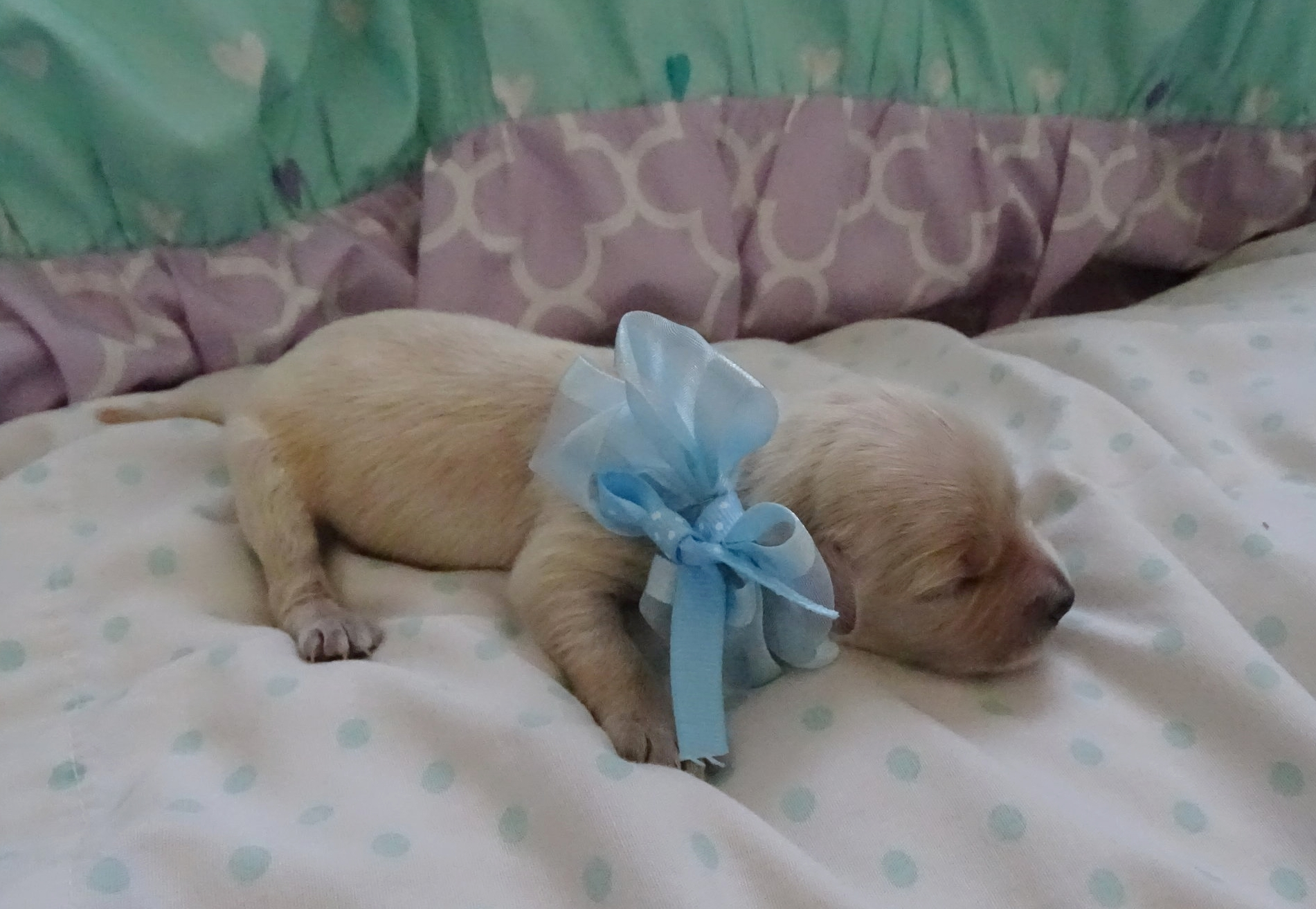 Meet Rusty - Rusty is a light gold colored male puppy. He was born at around 7:12 AM and weighed 7.7 oz.