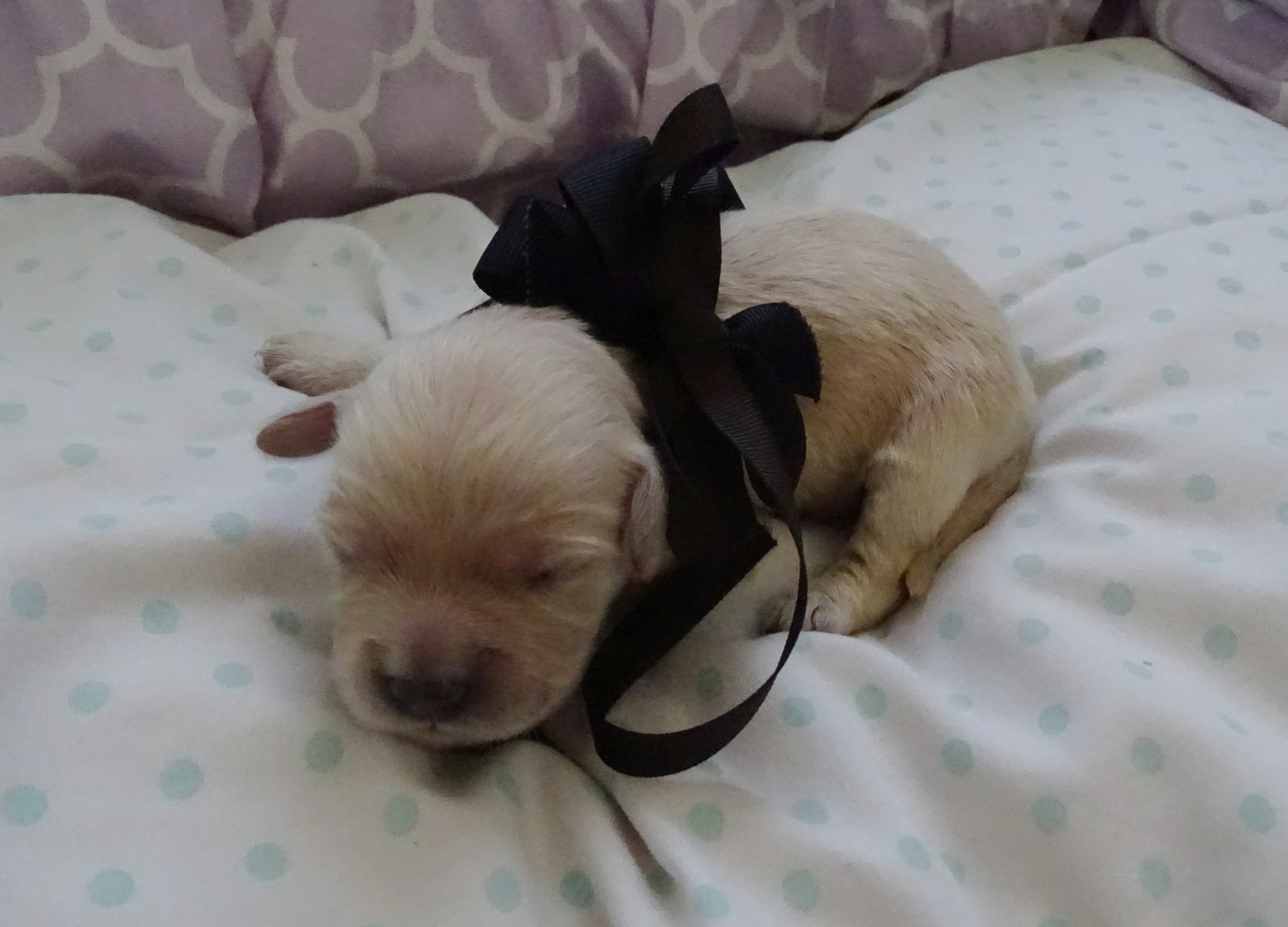 Meet Robert! - Robert is a light gold colored male puppy. He was born at around 7:20 AM and weighed 9.3 oz.