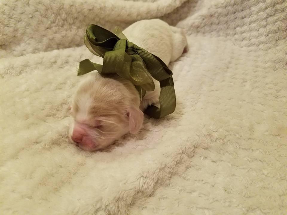 Aspen cream male 1-week-old; weighs1 lb 5.4 oz