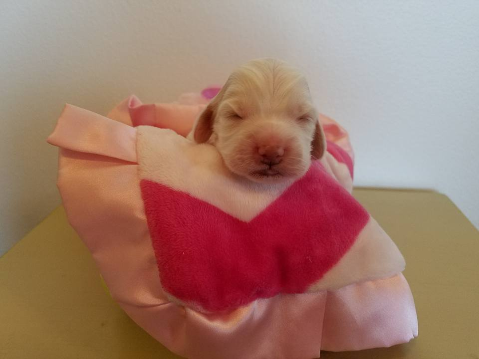 Lexus cream and gold female; weighs 1 lb 3.1 oz