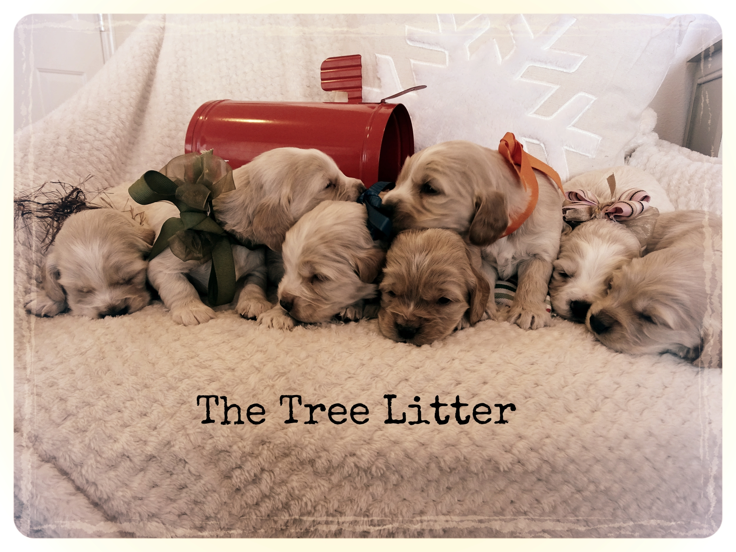 The gorgeous Miniature Golden Retrievers all have wonderful home they will go to in a few weeks!