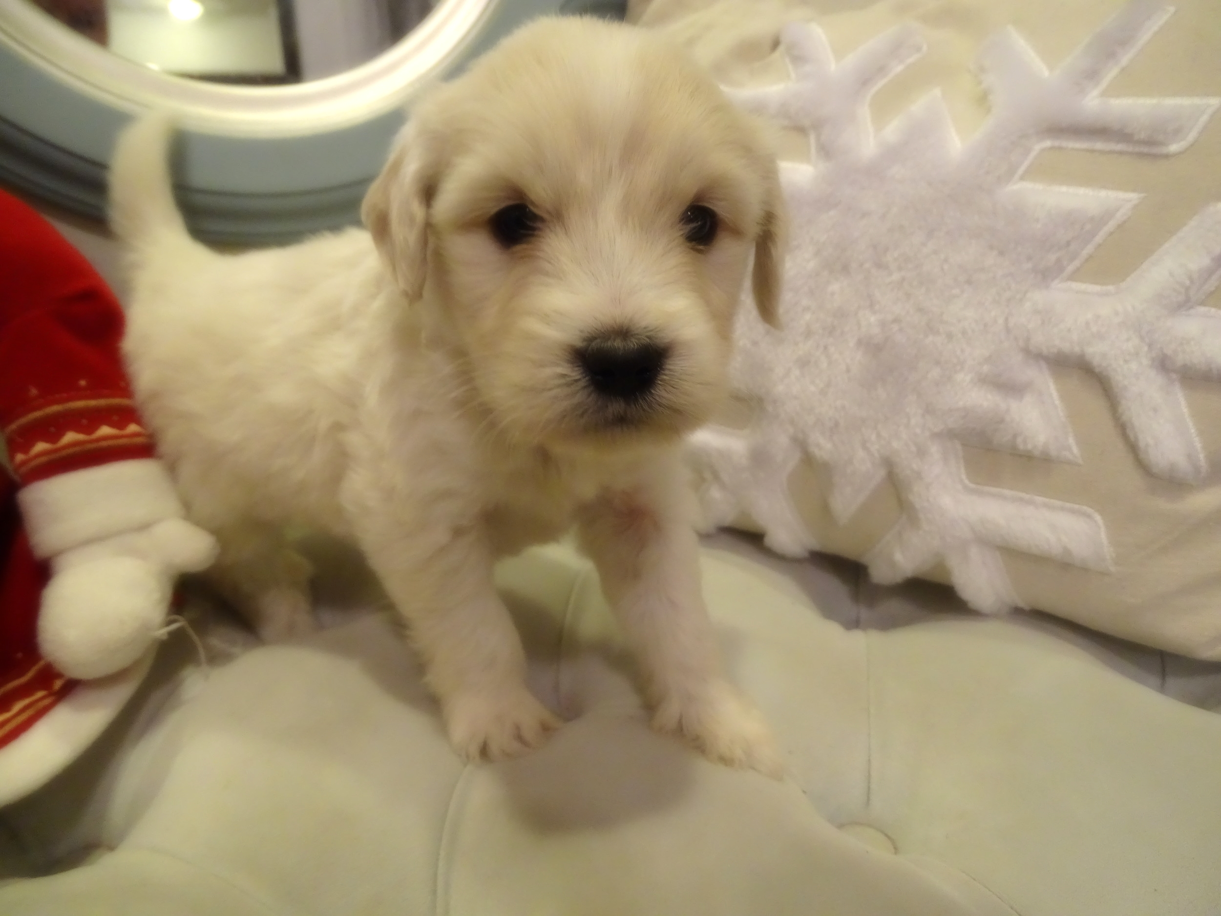 This is Scamp, 5 week-old cream male with a wavy non-shedding coat. He weighs 2 lbs 12 oz. He is charting 15 lbs. He scored an even 3/4 on his Volhard aptitude test which is perfect!