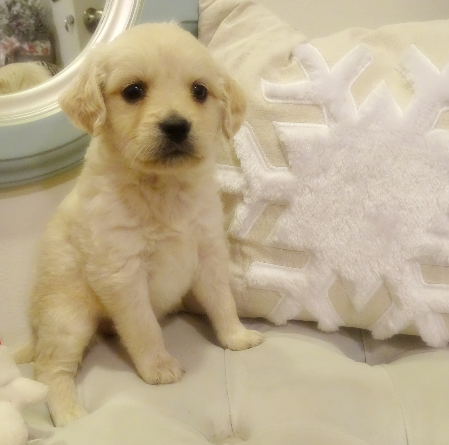 This is Frenchy, a 5-week-old cream female with a straight golden retriever coat.She weighs 3 lbs 1 oz. She is charting 17 lbs full grown. She scored mostly 3's on her Volhard aptitude test. She will be going to live with my brother Ryan and his girlfriend Nikolina in Sandy, Utah! Look for puppies from her down the road!