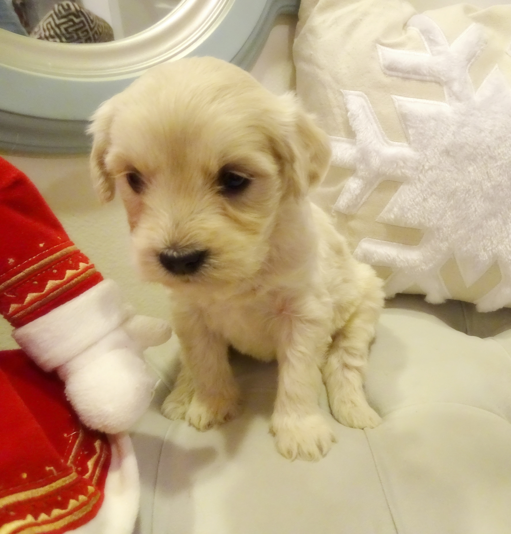 This is Jewell,a 5-weeks-old cream female with a wavy non-shedding coat. She weighs 2 lbs 10 oz. She is charting 15 lbs full grown. She scored Mostly 3's on her Volhard aptitude test which is a fabulous score.