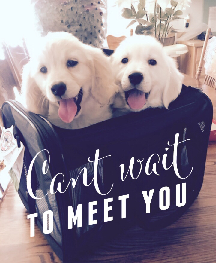 """These puppies are with their """"FUR""""ever homes.  Puppy on the Left is Luna from Brie and Bentley, Puppy on the Right is Magoo from Pinkerton and Sullivan. Photo courtesy of Jessica Tuttle"""