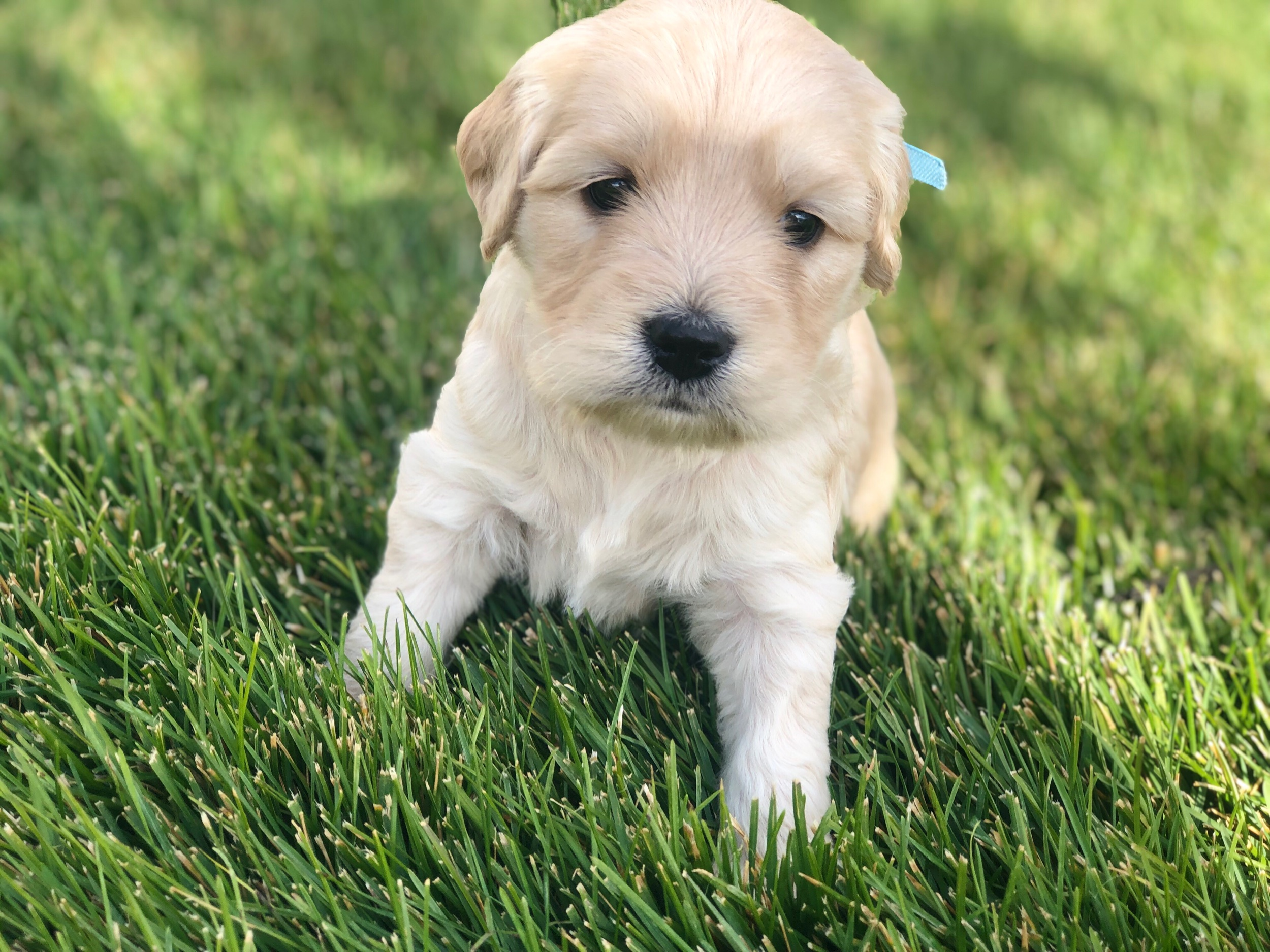 This is Lauren a light gold sister with a baby blue bow. She has a straight coat that looks like it will be non-shedding. She weighs 3 lbs 13 oz.