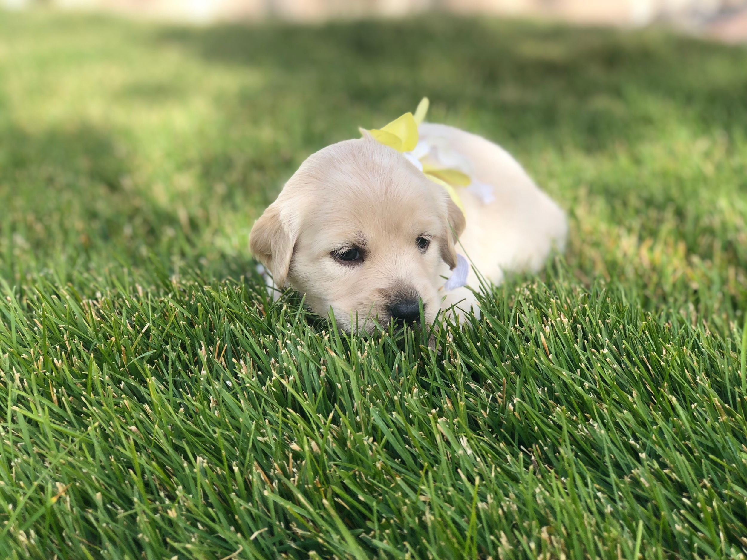 This is Elyse a Cream sister with a yellow bow. She has the classic Golden Retriever straight coat that will shed some. She weighs 3 lbs 13.9 oz.