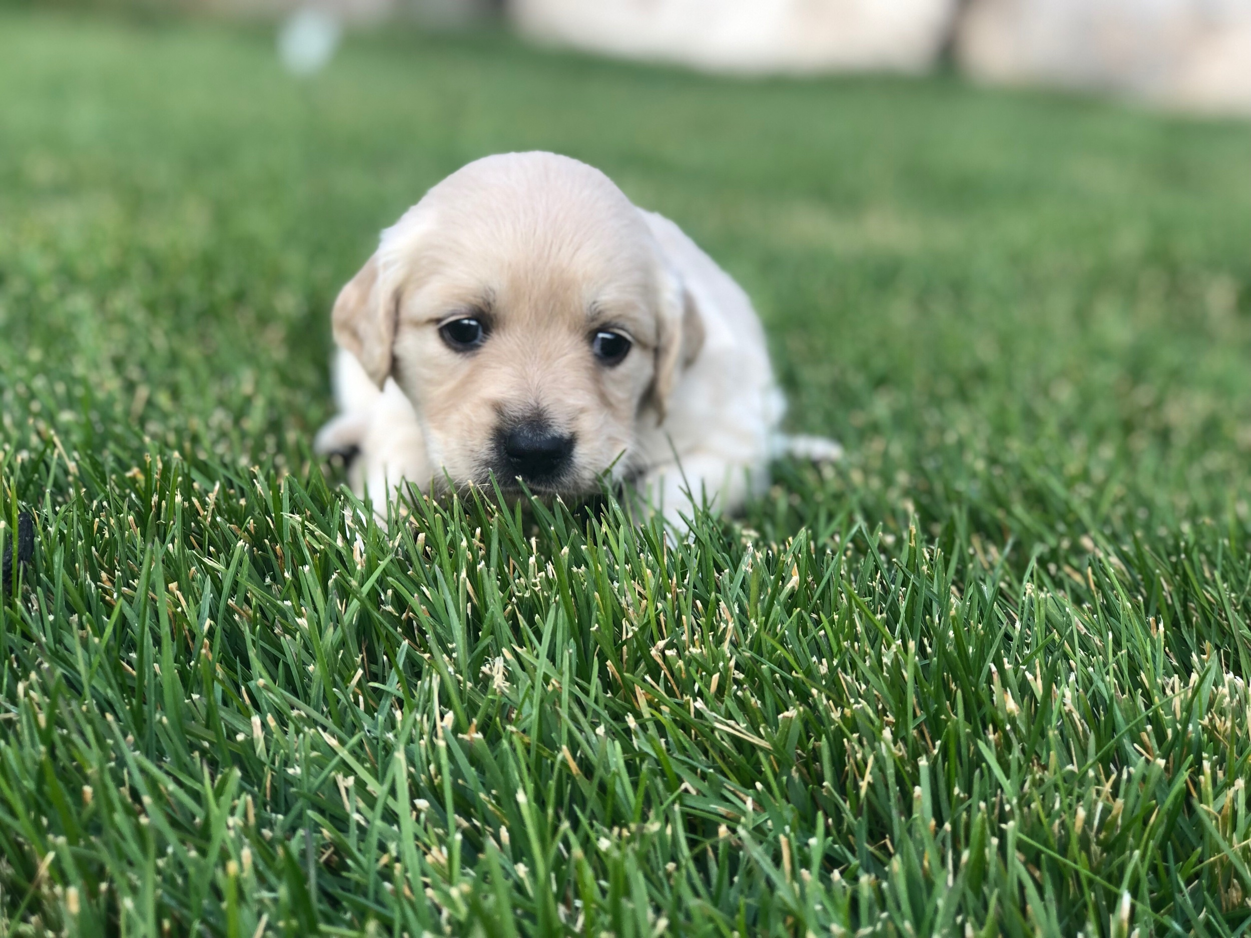 This is Kristen a light gold sister with a purple bow. She has the classic Golden retriever coat that will shed. She weighs 3 lbs 6.5 oz.