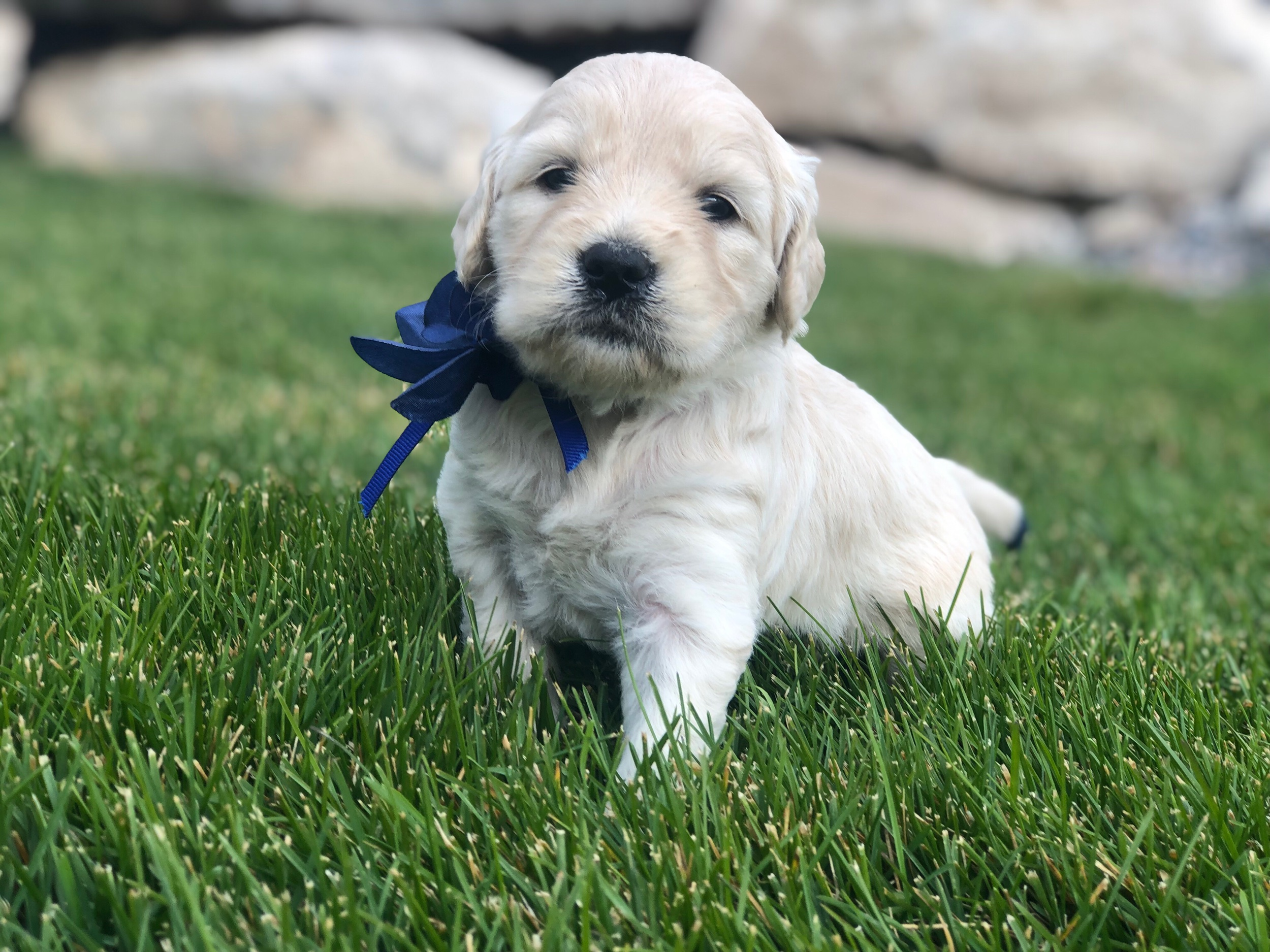 This is Camille a cream colored sister with a navy blue bow. She has a straight coat but it looks like it will be non-shedding as well. She weighs 3 lbs 12 oz.